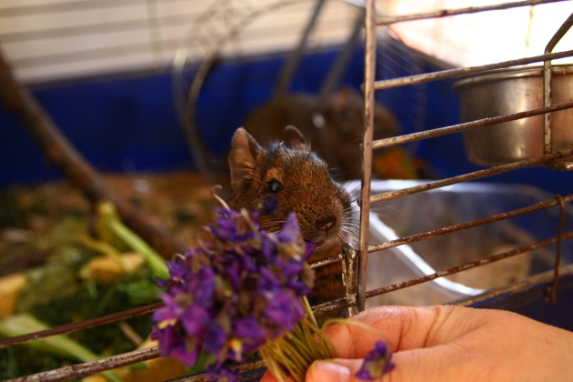 degu eats flowers
